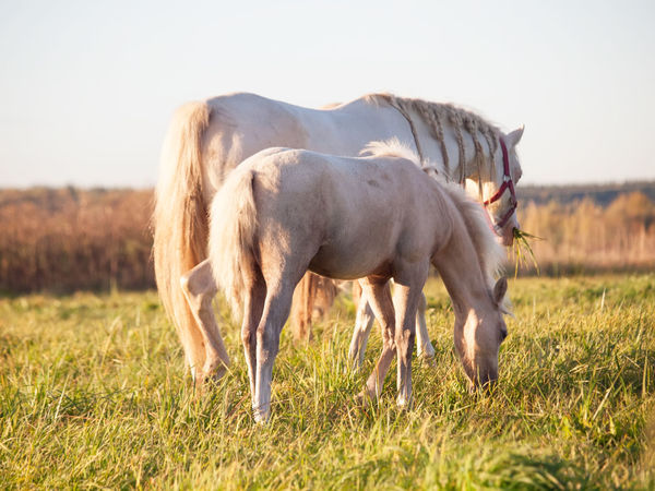 welsh pony in pasture Animal Themes Clear Sky Cream Creamello Day Domestic Animals Field Grass Grazing Horse Landscape Liberty Livestock Mammal Mane Nature No People Outdoors Pasture Pasture Pony Sky