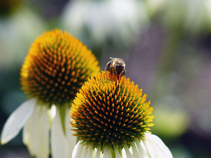 Close-up of bee on flower - echinacea