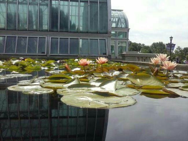 Original No Edit/no Filter Lotus Flower Lillypads Minnesota Como Zoo Urban Nature Follow Enjoy Nature Water Flower