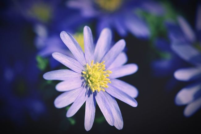 purple wood anemones. Wood Anemones Buschwindröschen Spring Flowers Flowers