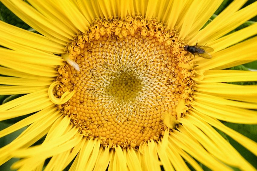 Fibonacci in action! Flowers Flowerporn Fibonacci EyeEm Nature Lover