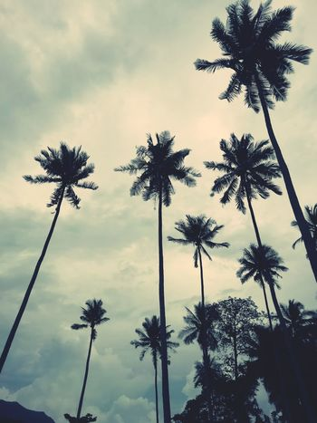 Tree Palm Tree Politics And Government Silhouette Tree Trunk Social Issues Tree Area Sky Cloud - Sky