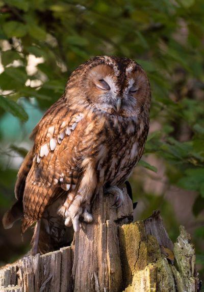 Nature Nature Photography Strix Aluco Tree Animal Animal Themes Bird Bird Of Prey Full Length Leaf No People Outdoors Owls Portrait Sleep Sleeping Bird Sleeping Birds In A Tree Tawny Owl