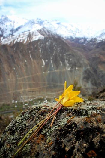Close-up of yellow flower on rock against mountain