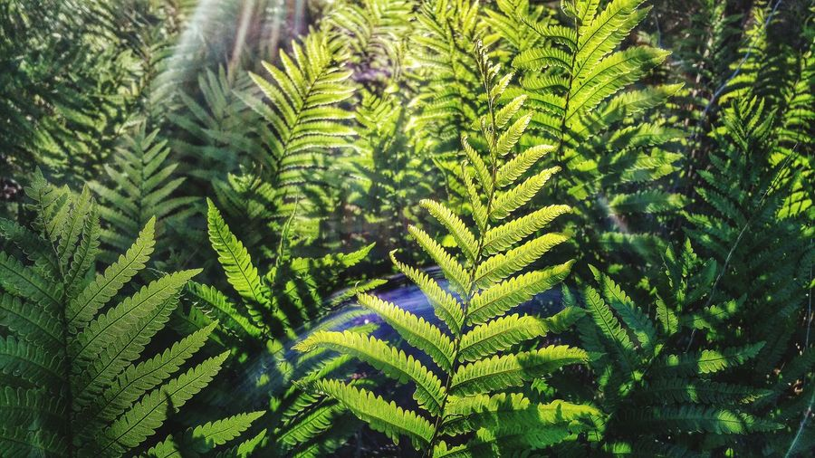 Sunset through the ferns Sunset_collection Sunset Where The Wild Ferns Grow Check This Out Enjoying Life Taking Photos