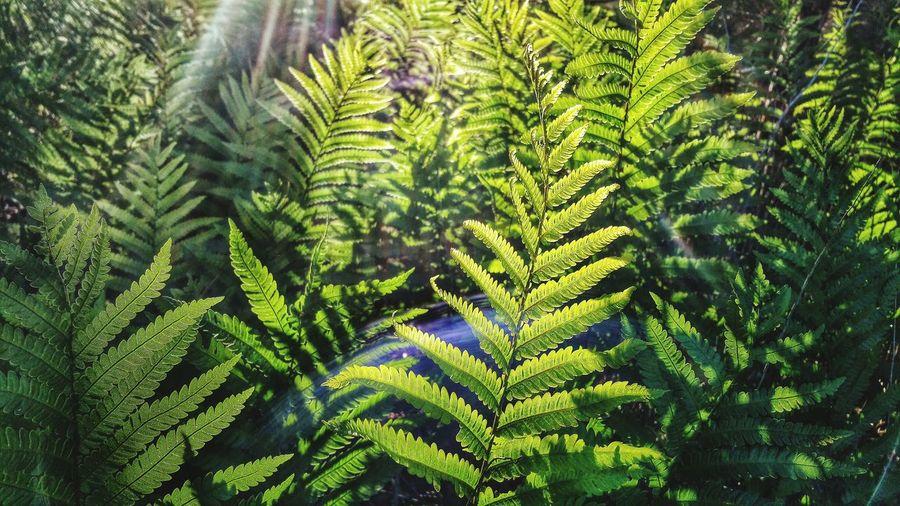 Sunbeam Falling Onto Ferns