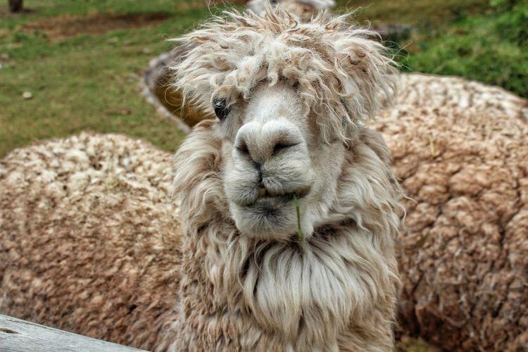 Lama Partener Selection Lama Lamaphotography Peru Portrait Looking At Camera Close-up Grass
