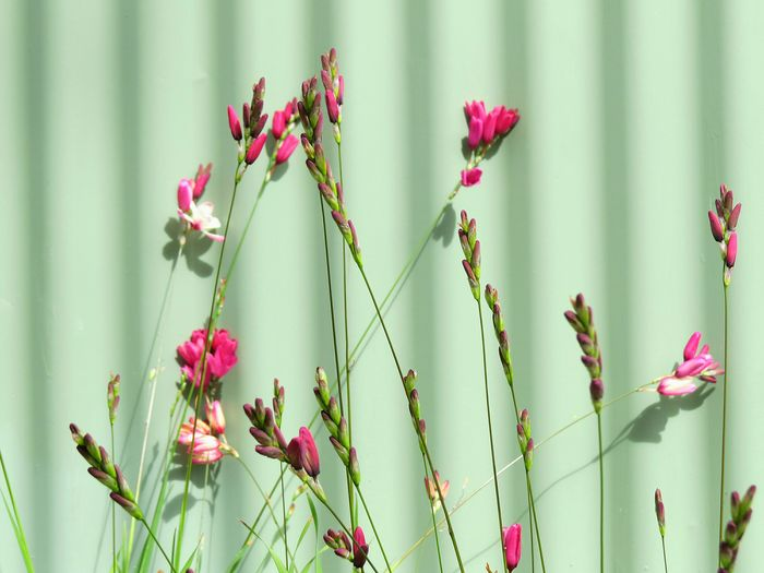PINK FLOWERS GROWING ON PLANT