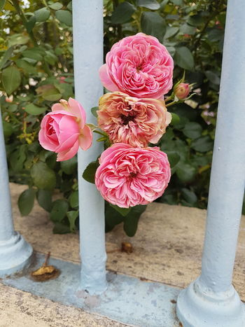 Flower Pink Color Rose - Flower Plant No People Outdoors Day Water Nature Flower Head Beauty In Nature Fragility Food Freshness Close-up