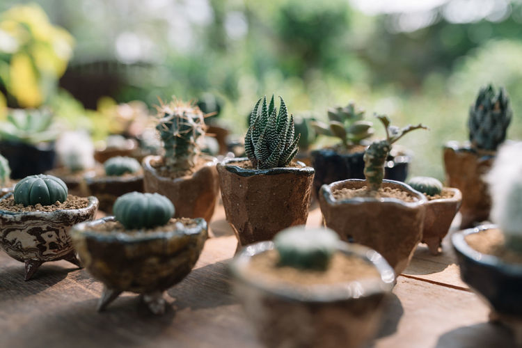 Cactuses Cactus Cactus Garden Cactuses Close-up Day Decoration Freshness Growth Nature Outdoors Plant