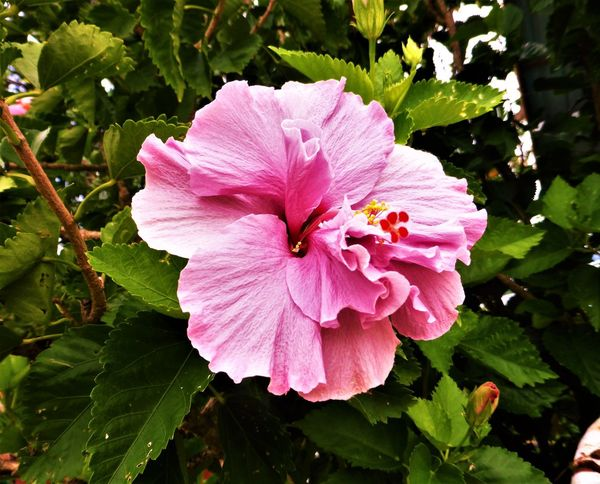 Hibiscus 🌺 Beauty In Nature Blooming Close-up Day Flower Flower Head Fragility Freshness Growth Hibiscus Leaf Nature No People Outdoors Periwinkle Petal Pink Color Plant Tropical Climate
