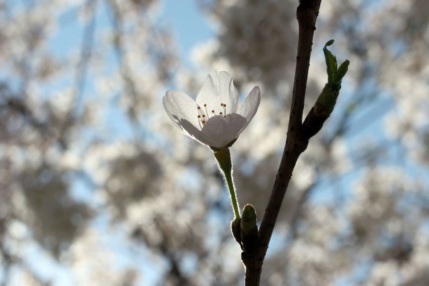 Branch Beauty In Nature Beginning Bloom Blooming Blossom Earliest Easter Flora Flower Flower Head Flowering Freshness Fruit Garden Growth Nature Purity Seasons Serenity Softness Spring Springtime Tree White Color