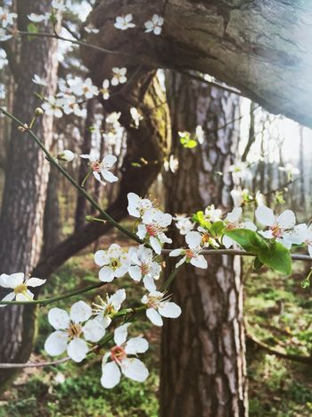 So zart, so soft... Beauty In Nature Blooming Blossom Botany Cherry Blossom Flower Flower Head Focus On Foreground Forest Fragility Freshness Growth In Bloom Nature Petal So Soft Springtime Tree White Color
