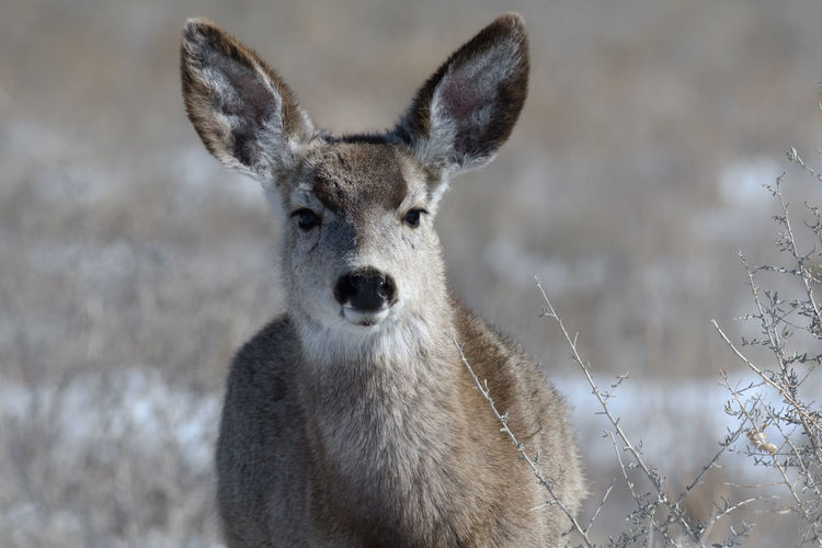 Close-up portrait of deer on field