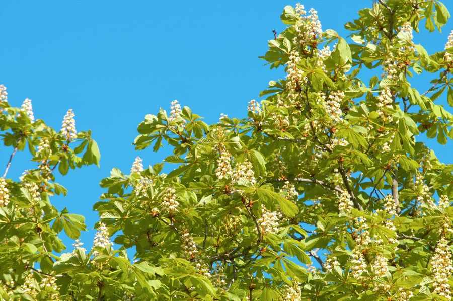 Beauty In Nature Blue Branch Chestnut Chestnut Tree Clear Sky Day Freshness Green Color Growth Leaf Low Angle View Nature No People Outdoors Plant Sky Sunlight Tree