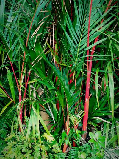 The lipstick palm trees is very rare - brilliant red, sometimes change orange and colored crownshaft. I am very surprised that I am finally to see beautiful textures lipstick palm trees, because I haven't seen like this before. Lipstick Palm Trees Plants 🌱 All Green 🌴☁🌲 Garden Photography Garden Love Marco Photography Beautiful Photography💕 Nature Textures Awesome_shots Green Garden Palm Trees Palm Leaves Rare Plants