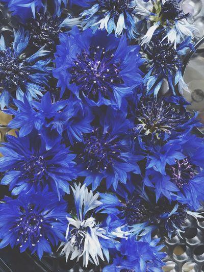 Cornflower Bachelors Button