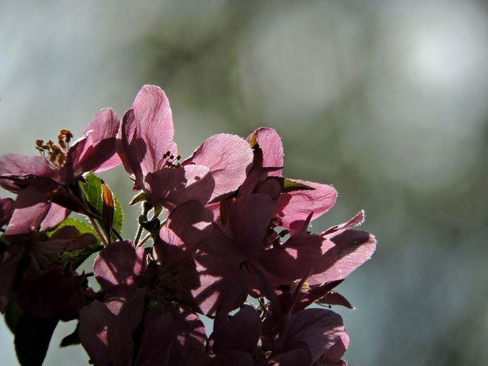 Flowering Trees Flower Flowering Plant Plant Beauty In Nature Growth Petal Freshness Pink Color Fragility Vulnerability  Close-up Flower Head Inflorescence Nature No People Day Focus On Foreground Selective Focus Botany Outdoors Pollen Springtime Bunch Of Flowers Cherry Blossom