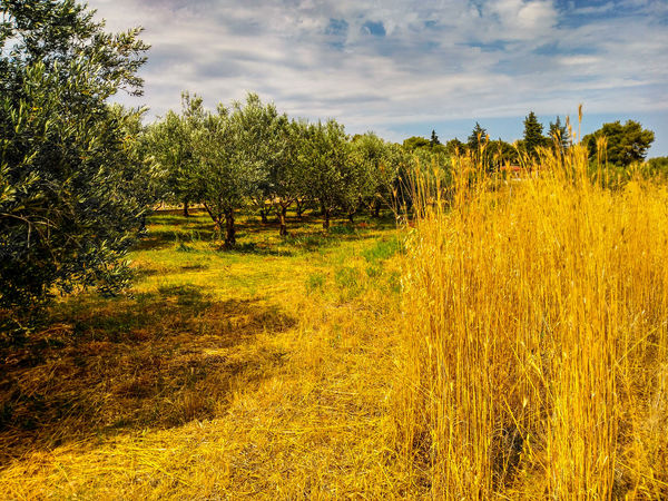 Yellow Agriculture Tree Field Outdoors No People Cloud - Sky Day Rural Scene Growth Nature Beauty In Nature FoodEyeEmNewHere Eyem Nature Lovers  Naturelovers Landscape Nature Sky Croatia Biograd Na Moru Paint The Town Yellow The Week On EyeEm