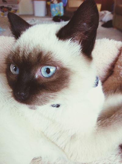 Zelda is such a beautiful kitty. ? Prettykitty Zelda