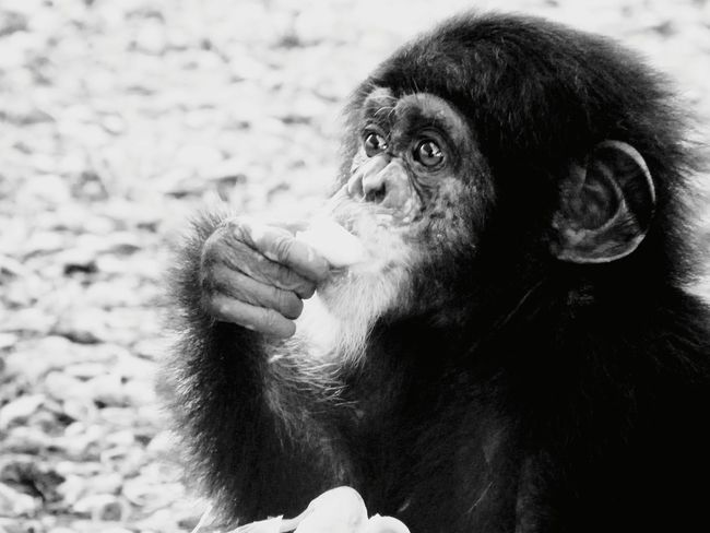 Chimp Bissau Africa African Beauty African Safari Animal Themes Nature Photography Nature_collection Blackandwhite Black And White African Animal Ape Primate Chimpanzee Animal One Animal Mammal Animal Wildlife Monkey Nature Close-up