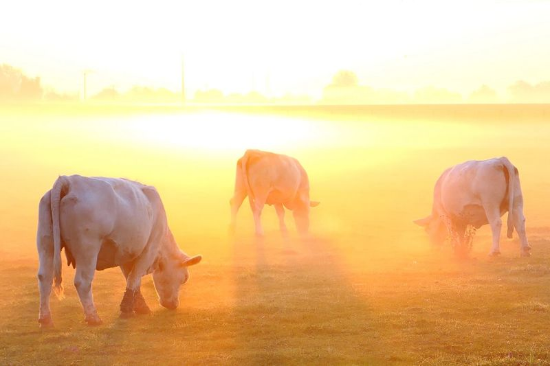 Cows grazing on field against sky during sunset