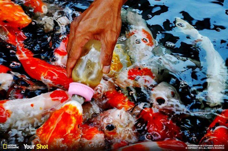 Fish feed milk.. Balti Hicham.