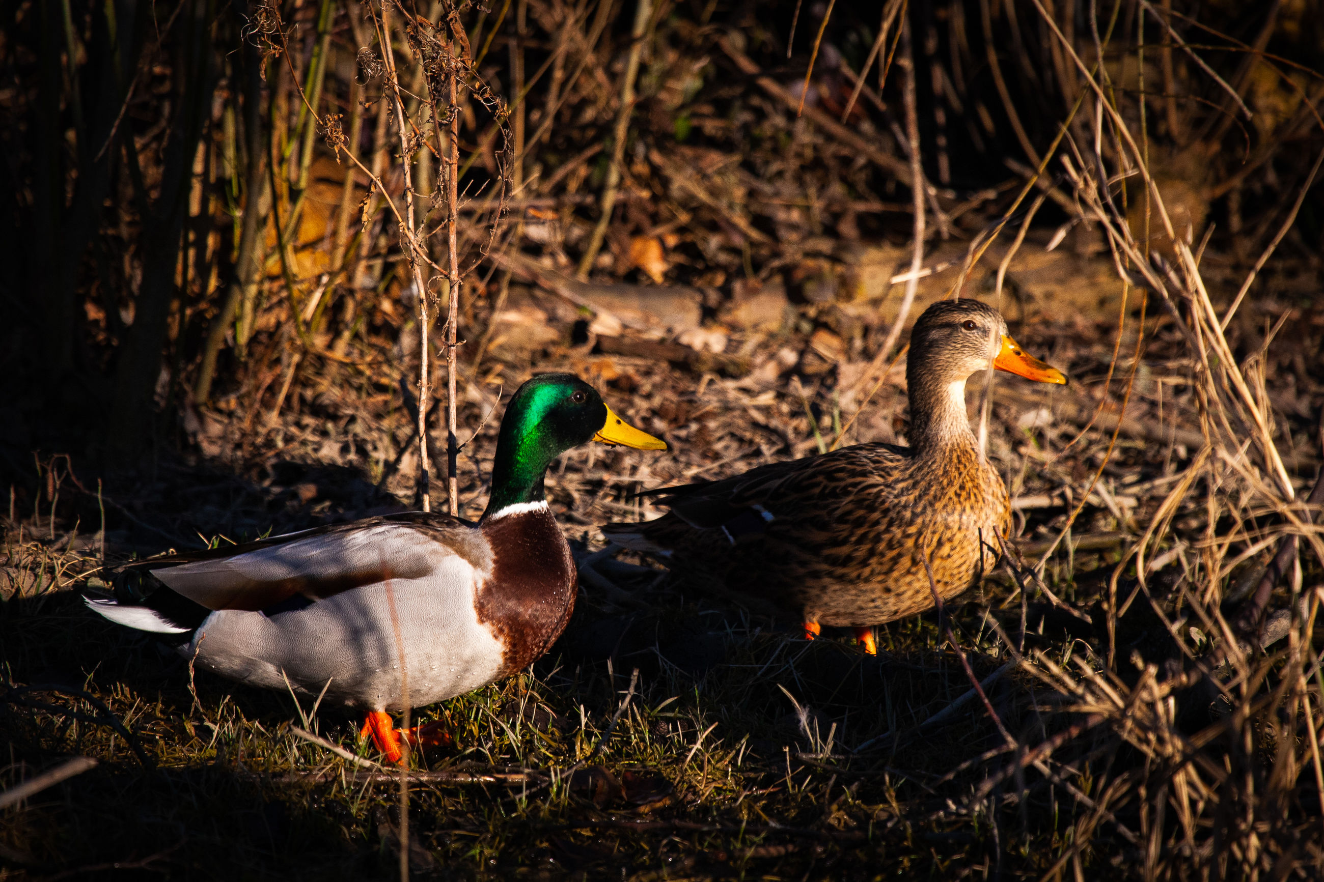 bird, animal themes, animal, animals in the wild, vertebrate, animal wildlife, group of animals, duck, poultry, land, nature, field, water bird, no people, female animal, two animals, plant, day, outdoors, young animal, animal family, gosling