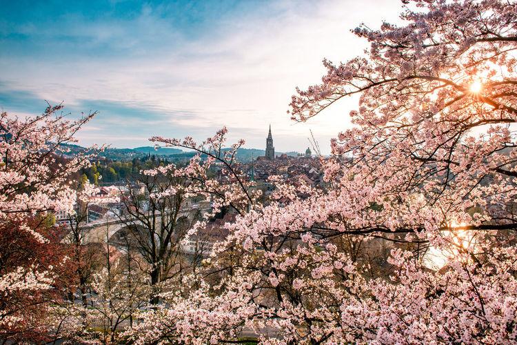 Flowering Trees Against Sky