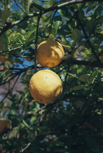 Branch Citrus Fruit Close-up Day Film Food Freshness Fruit Growth Healthy Eating Leaf Lemon Lemon Tree Lemon Trees Lemons Nature Nature Photography Nature_collection No People Oranges Outdoors Scenics Travel Photography Tree Paint The Town Yellow