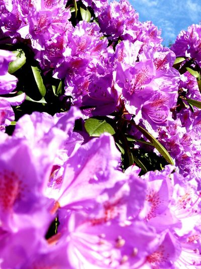 Flower Flowering Plant Plant Freshness Beauty In Nature Fragility Growth Vulnerability  Pink Color Inflorescence Blossom Close-up Purple Flower Head Botany Rhododendron Selective Focus No People Garden EyeEm Nature Lover Nature Petal Springtime EyeEm Best Shots - Nature Vulnerability