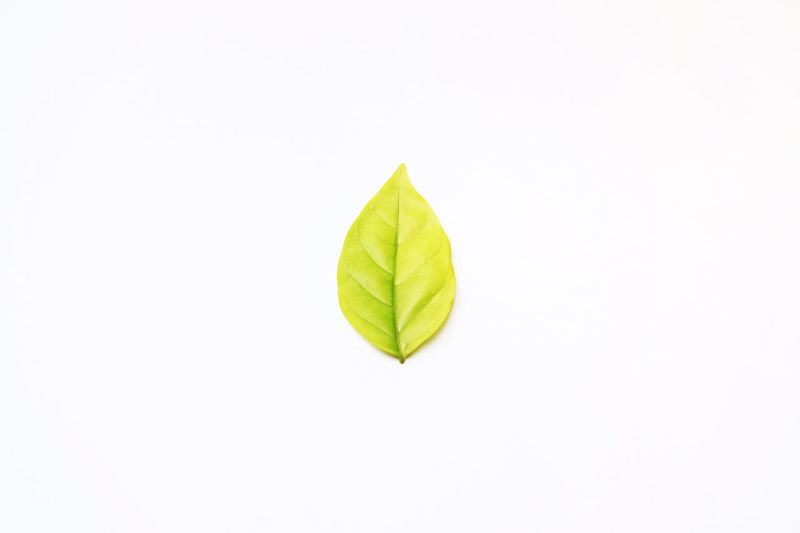 Beautiful leaf tree close up on white color background. Seasonchange Tree Branch Branches And Leaves Close-up Day Food Fragility Freshness Green Color Growth Healthy Eating Leaf Leafs Photography Nature No People Season  Single Object Studio Shot White Background