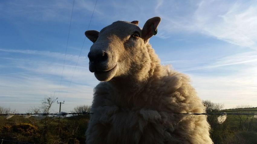 Sky Outdoors Portrait Mammal Nature No People Close-up Sheep RAM Wool Rural Scene Farm Animal Pembrokeshire Wales Samsung Galaxy S5 Smallholding Farm Cymru