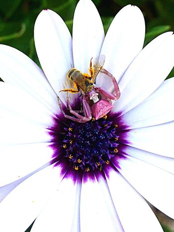 Flower Petal Insect Cape Daisy Osteospermum Spider Fragility Nature Freshness Beauty In Nature Flower Head Purple Day Pollen Growth No People Outdoors Bee Animal Wildlife Pollination Thomisusonustus Honey Bee European Honey Bee Crab Spider Flower Spider