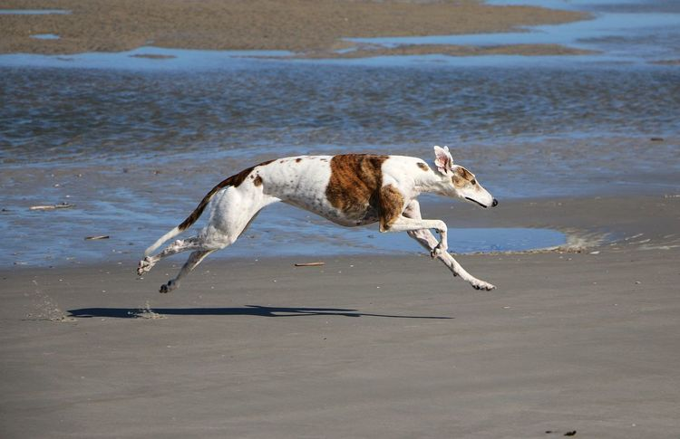 beautiful galgo is running at the northsea in the sunshine Galgo Galgo Español. Action Active Animal Themes Beach Dog Domestic Animals Fast Flying Galgo Espanol Galgoespañol Mammal Nature No People Northsea One Animal Outdoors Pets Sand Sea Sighthound Summer Water Windhund