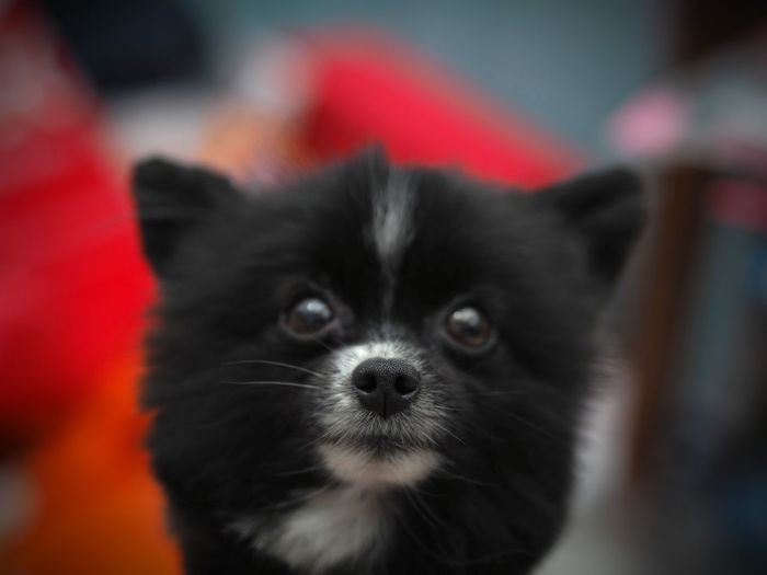 Pomeranian Pets Domestic Animals Dog Mammal Close-up Portrait Indoors  Looking At Camera Pet Portraits