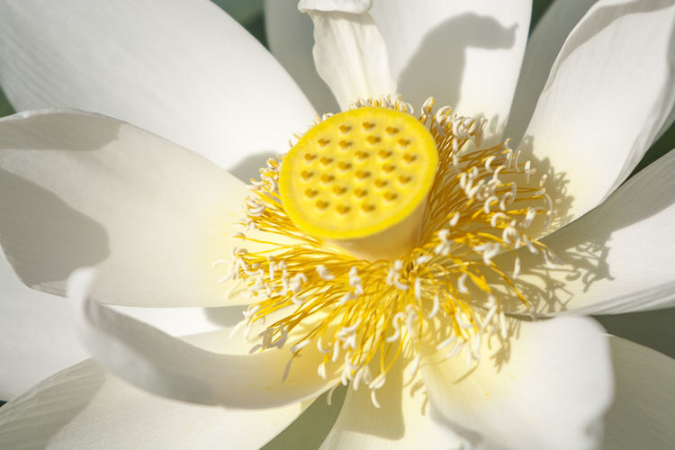 Lotus Waterlily Flower Head Flower White Background Yellow Petal Close-up Plant Blooming Single Flower