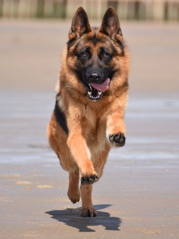German shepherd at the beach German Shepherd Duitse Herder German Shepherd Dog  Beach Pets Pet Dogs Dog