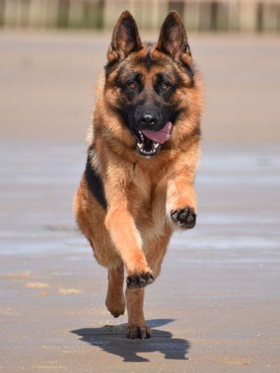 German shepherd at the beach German Shepherd Duitse Herder German Shepherd Dog  Beach Pets Pet Dogs Dog