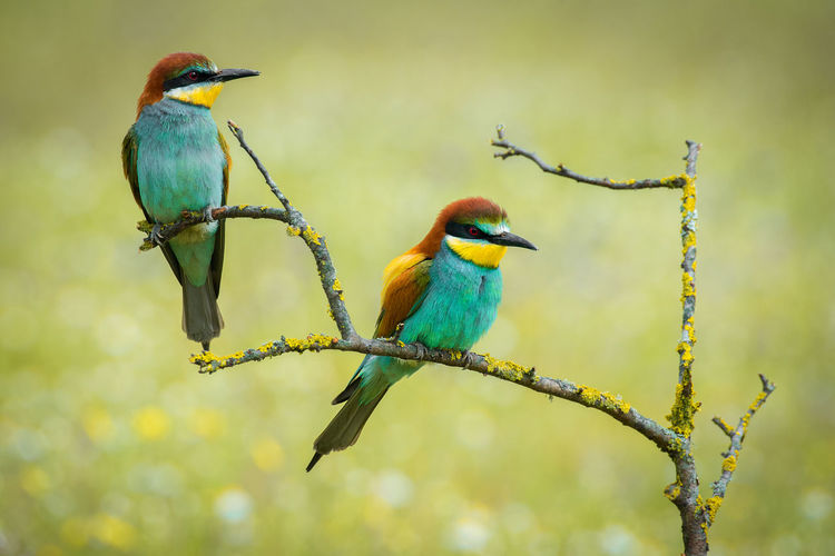 Merops Apiaster Abejaruco Bee-eater Vertebrate Perching Animal Wildlife Bird Animal Animal Themes Animals In The Wild Branch Focus On Foreground Plant No People Day Beauty In Nature Nature Outdoors