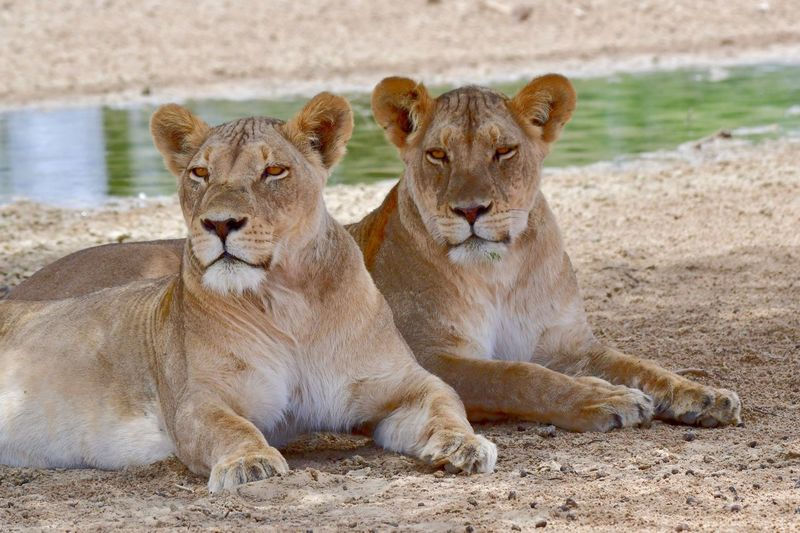 Animals In The Wild Lioness Lion - Feline Animal Wildlife Day Outdoors Animal Themes No People Lion Cub Nature Mammal Wildlife Photography EyeEm Best Shots Kalahari EyeEm Nature Lover Perspectives On Nature Kgalagadi Transfrontier Park Lion Togetherness