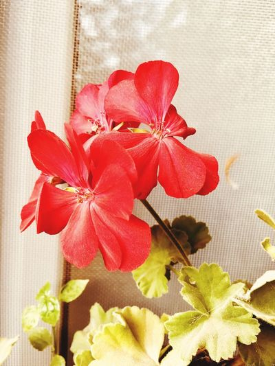 Flowers Bow Close-up Tied Bow Flower Indoors  No People Red Ribbon Ribbon - Sewing Item Plant Nature High Angle View Holiday Flowering Plant Decoration Christmas Table Celebration Gift Beauty In Nature