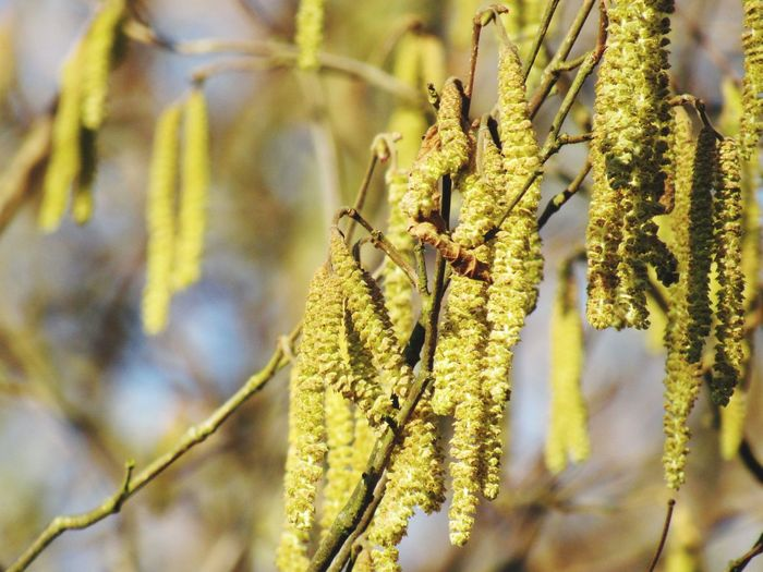 Catkin Close-up