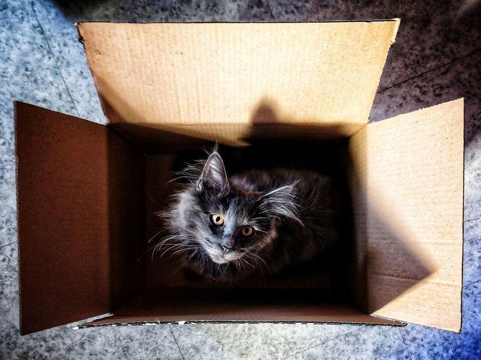 Livraison reçu ! Norvegianforrestcat Pets Domestic Cat Feline Shadow Animal Themes Kitten Cat At Home Young Animal
