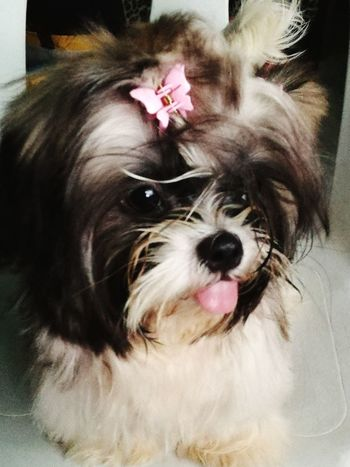 Dog Pets One Animal Sticking Out Tongue Pet Portraits Mans Best Friend Shihtzu Cute Dogs Of EyeEm