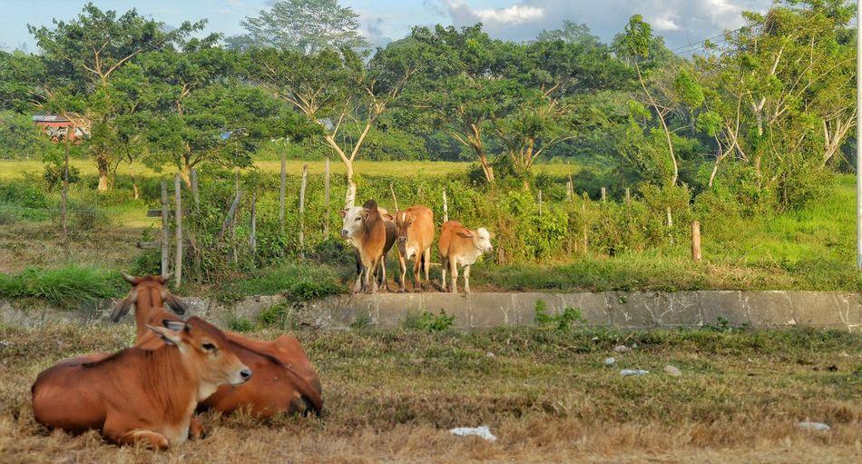 Tres amigos. Cows Kota Belud Sabah Sapi Photosbyallen Travelphotography Photos By Allen Wandering Nikon