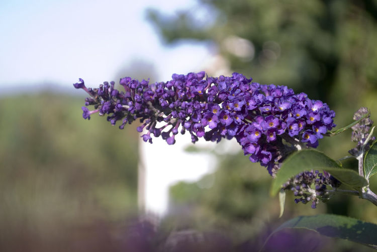 Beauty In Nature Close-up Day Flower Flower Head Focus On Foreground Fragility Freshness Growth Lavender Lilac Nature No People Outdoors Plant Purple