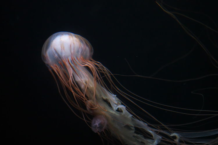Animal Themes Animals In The Wild Aquarium Beauty In Nature Close-up Dark Jellyfish Nature One Animal Sea Sea Life Swimming UnderSea Underwater Water