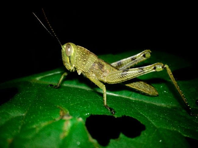 Taking Photos Nature In The Night Bugs Bugslife Nature Animals In The Wild Animals Insects  Beauty In Nature Nature_collection Close-up Nature Beauty Nature Is Art Indonesia_photography Macro Bugs Macro Insects Macro_perfection Macroclique Selective Focus Showcase June