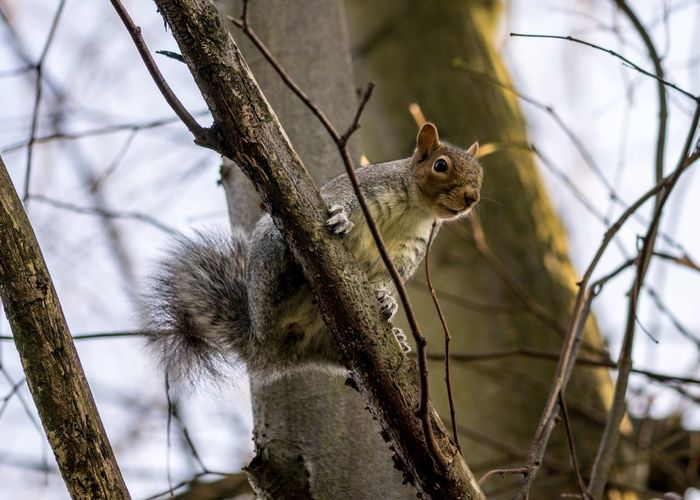 Climbing Grey Squirrel Animal Wildlife Animal Animal Themes One Animal Rodent Animals In The Wild Mammal No People Squirrel Focus On Foreground Tree Nature Vertebrate Close-up Plant Branch Day Low Angle View Outdoors
